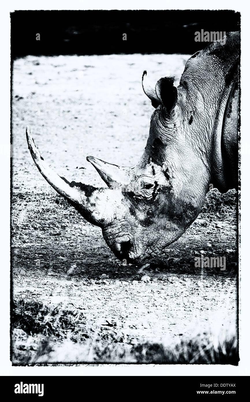 Singola bianca pascolo di Rhino: dettaglio della testa, vista laterale in monocromatico stilizzata, Lake Nakuru, Immagini Stock