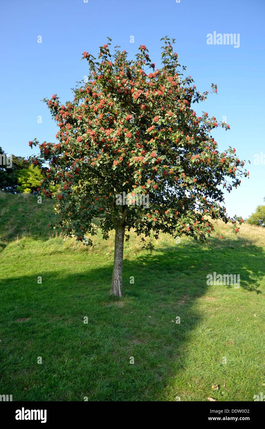 Albero Con Bacche Rosse albero con bacche rosse nel sole / ombra, bristol england
