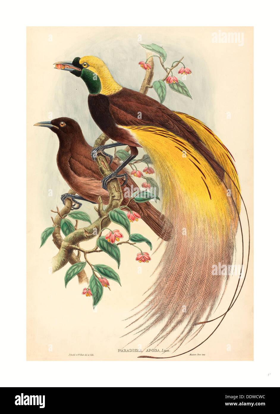 John Gould e W. Hart (British, 1804 - 1881 ), uccello del paradiso (Paradisaea apoda), pubblicato 1875 1888, mano litografia colorata Immagini Stock
