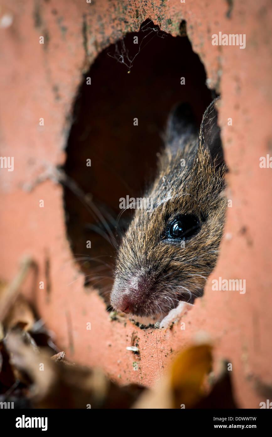 Mouse in legno nasconde al suo interno un mattone di casa Immagini Stock