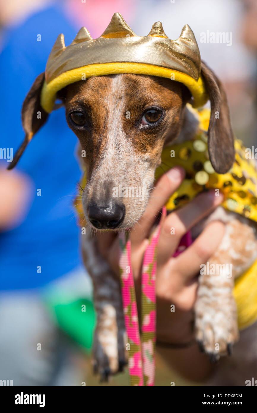 """Un shorthaired bassotto in costume è portato dal suo proprietario alla annuale """"Wiener prende tutti i' Bassotto gare in Bella Vista, Ark. Immagini Stock"""