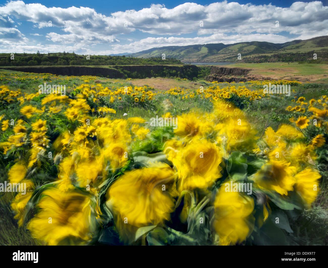 Balsamroot fiori selvaggi nel vento. Tom McCall Park. Columbia River Gorge National Scenic Area. Oregon Immagini Stock
