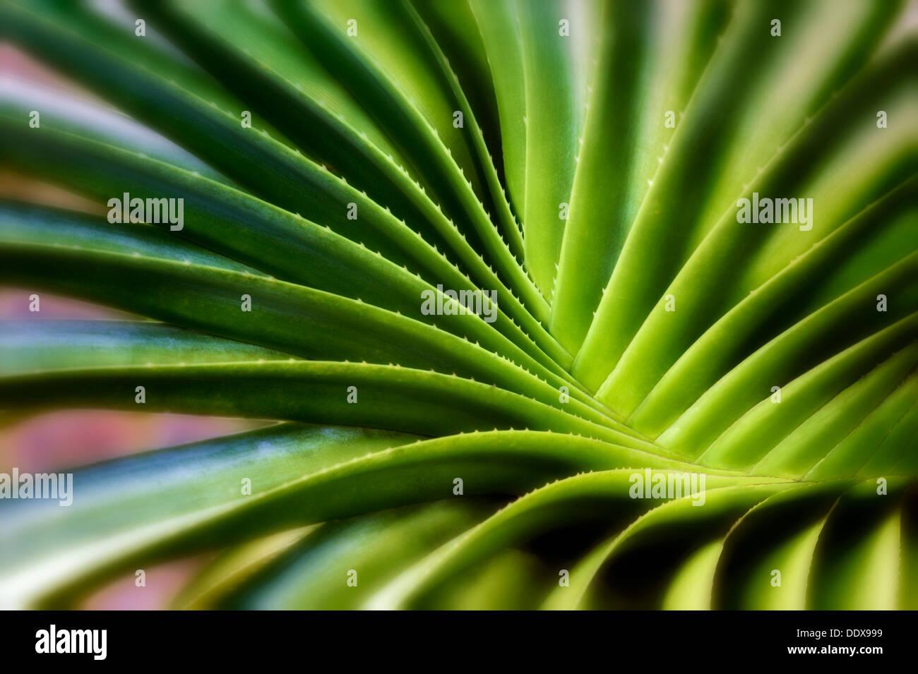 Moto vorticoso delle foglie di piante succulente. Bora Bora. Polinesia francese. Immagini Stock