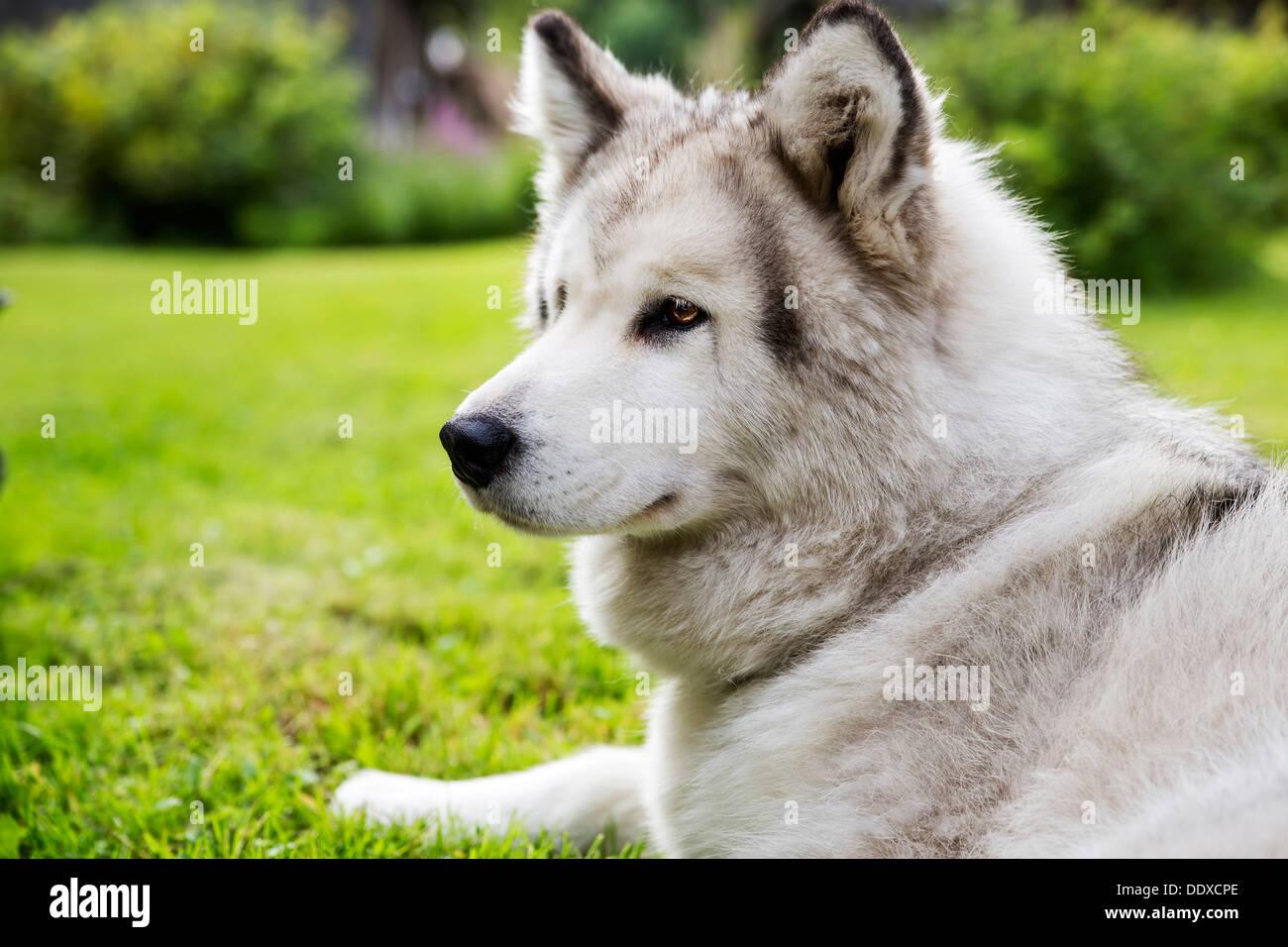 Con pelliccia bianca cane laici pacificamente in giardino Immagini Stock