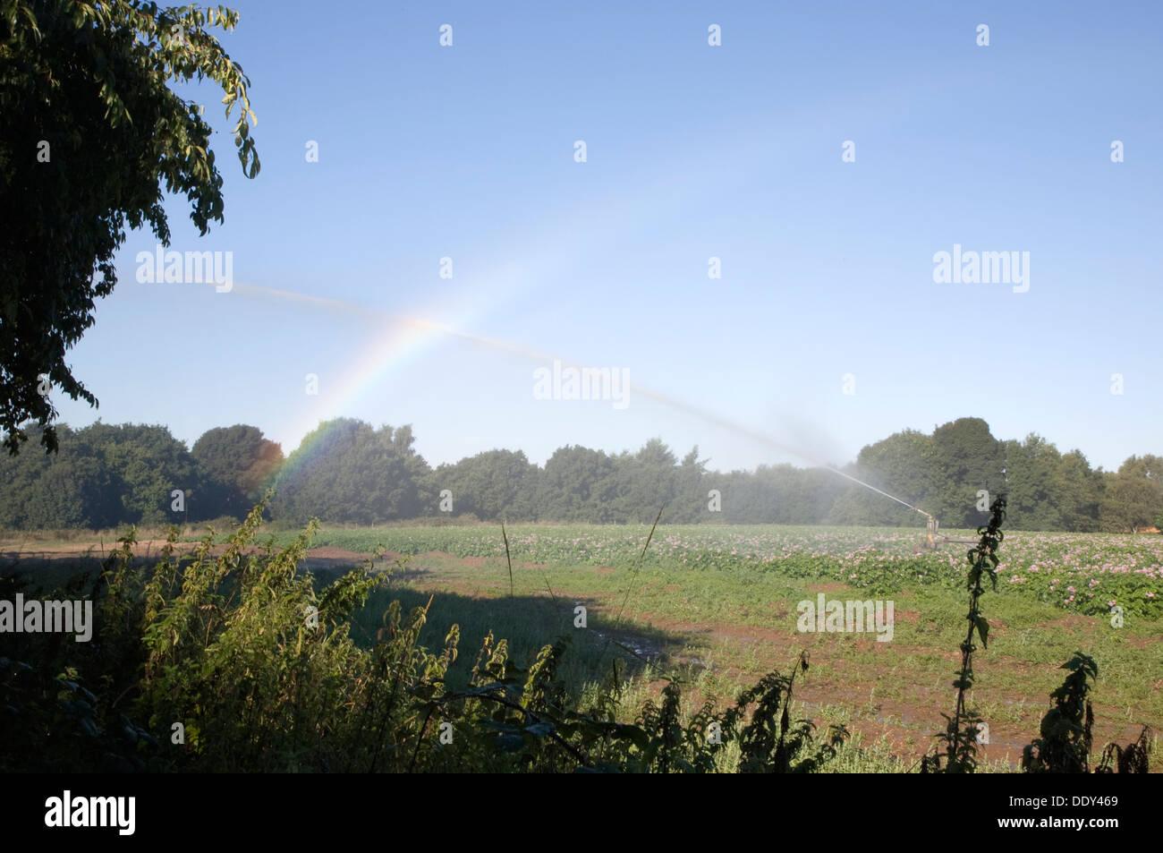 Rainbow dall'acqua spruzzata dal raccolto irrigatore su depositata di patate Suffolk in Inghilterra Immagini Stock