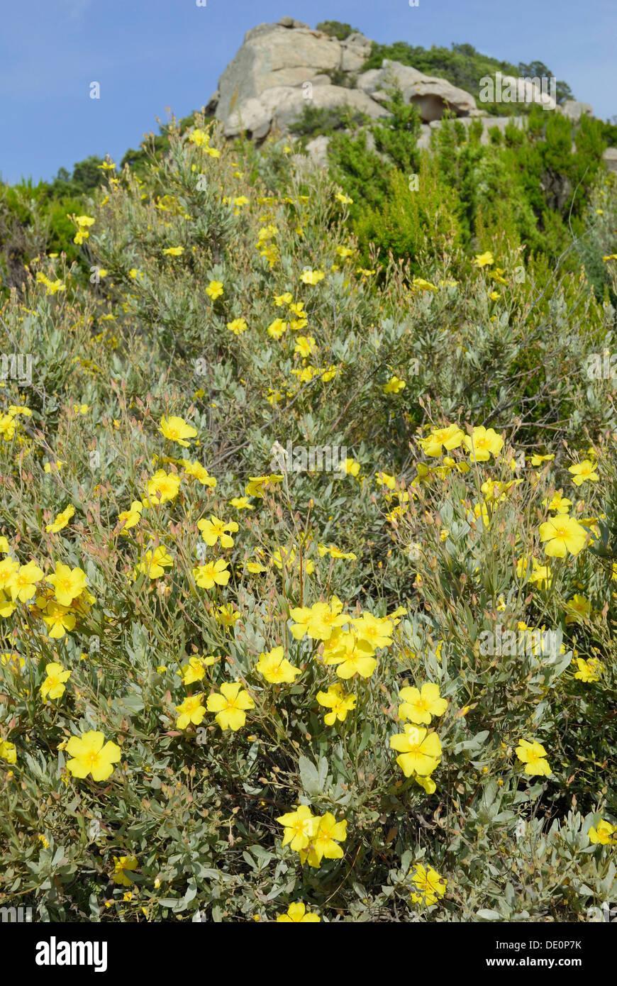 Fiori Gialli Macchia Mediterranea.Fiori Di Colore Giallo Di Un Rock Rose Halimium Halimifolium In