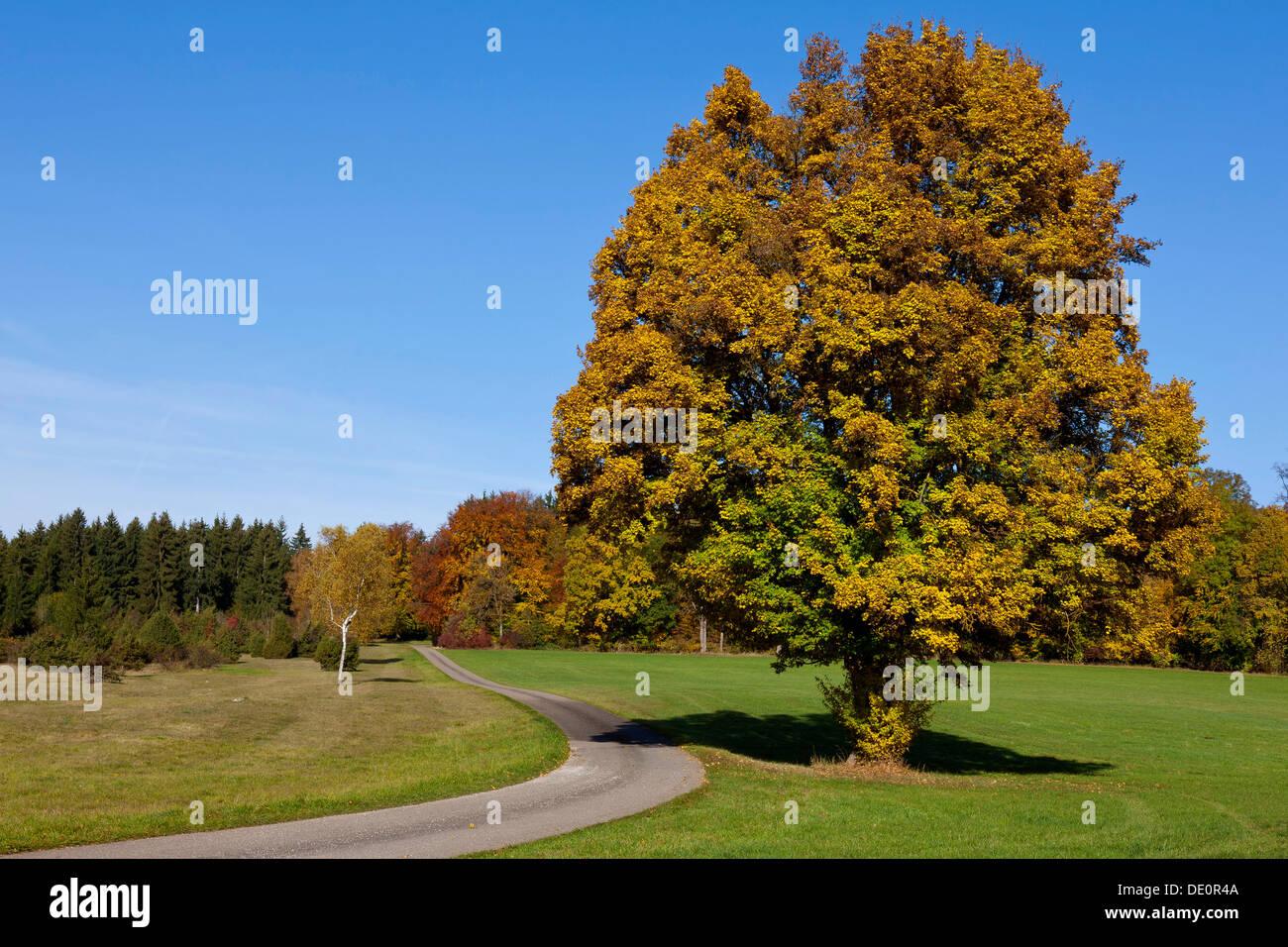 Percorso attraverso un campo con alberi d'autunno, Gerstetten, Giura Svevo, Schwäbische Alb, Baden-Württemberg, Germania Immagini Stock