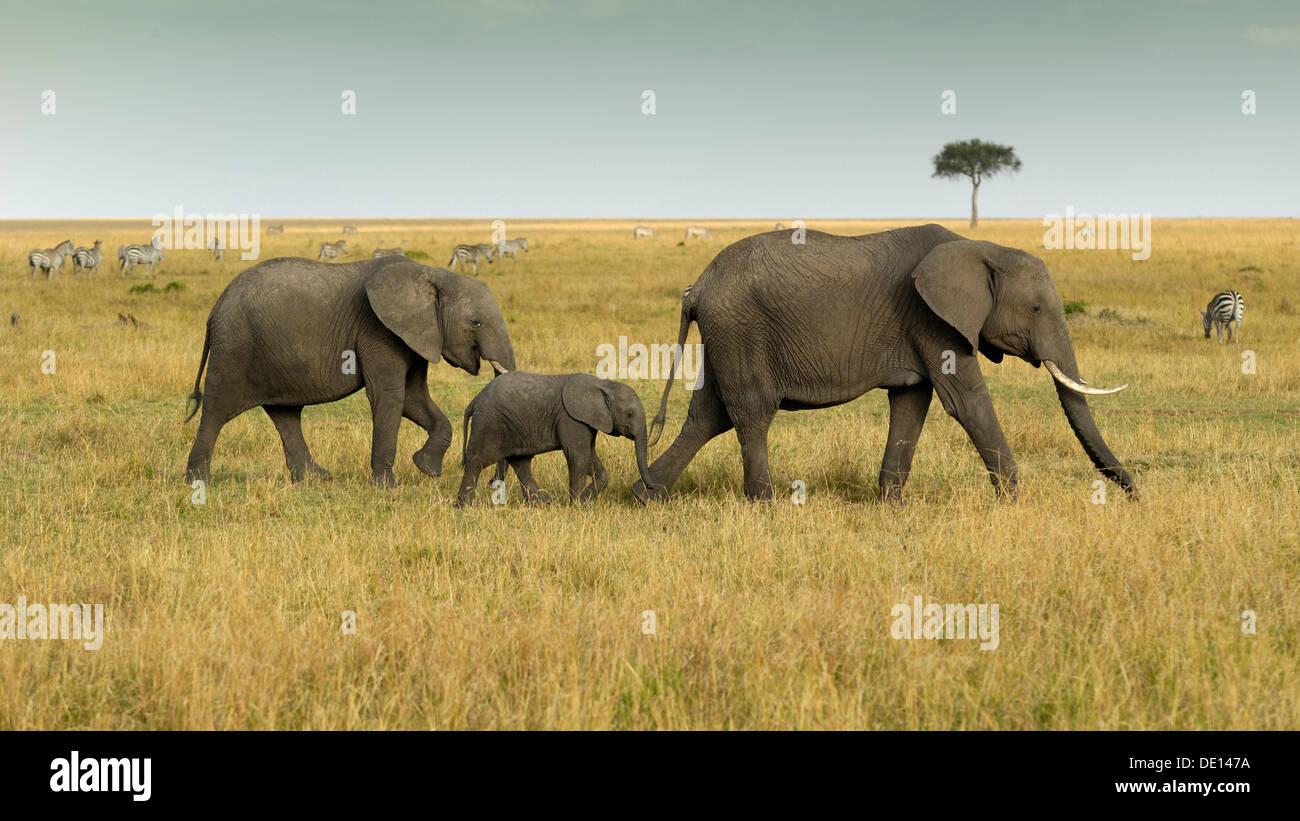 Bush africano Elefante africano (Loxodonta africana), gruppo con vitello neonato girovagando paesaggio con cielo tempestoso Immagini Stock