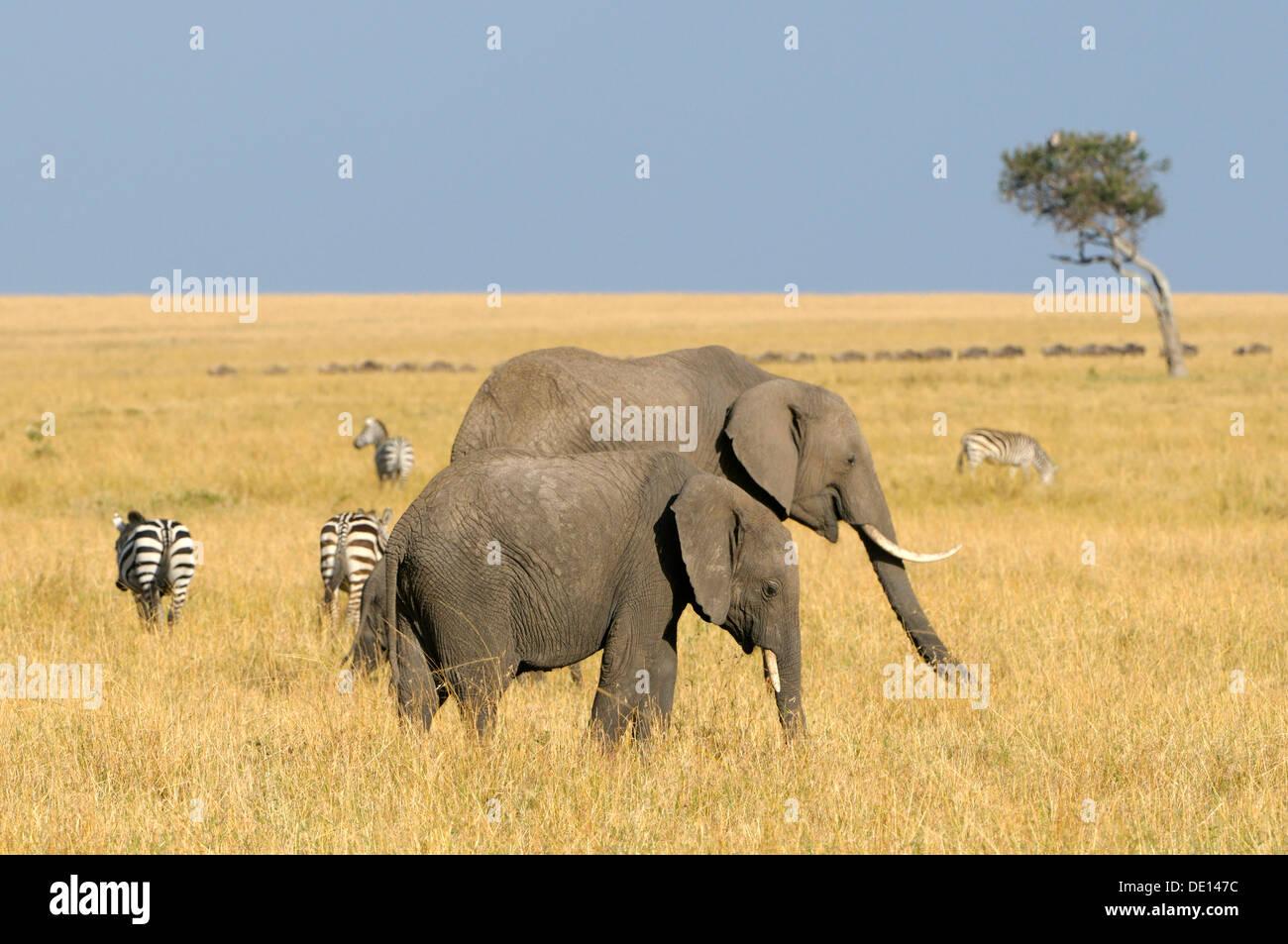 Bush africano Elefante africano (Loxodonta africana), gruppo errante, paesaggio Masai Mara riserva nazionale, Kenya, Africa orientale, Africa Immagini Stock