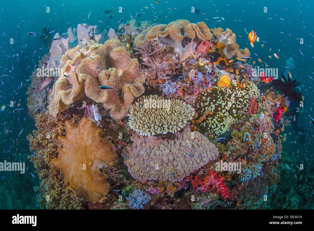 Vibrante barriera corallina con la diversità di vita marina. Raja Ampat, Indonesia Immagini Stock