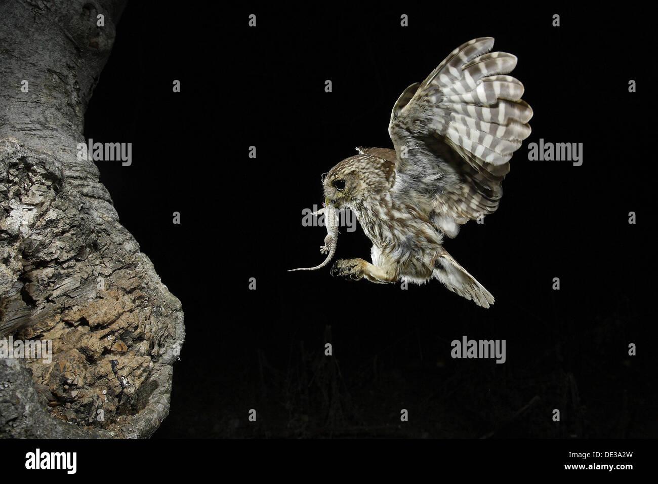 La civetta (Athene noctua) Immagini Stock