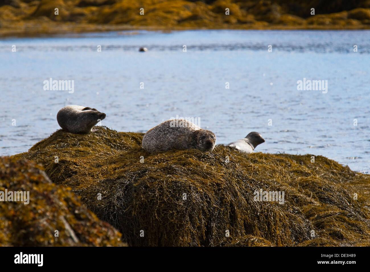 Una guarnizione di crogiolarsi sulla Isle of Harris Immagini Stock
