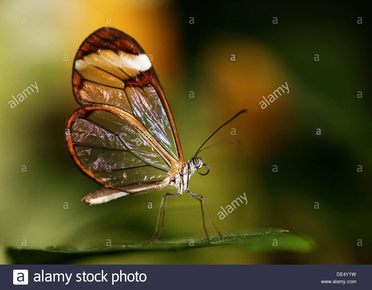 Glasswinged farfalle tropicali in appoggio su una foglia verde Immagini Stock