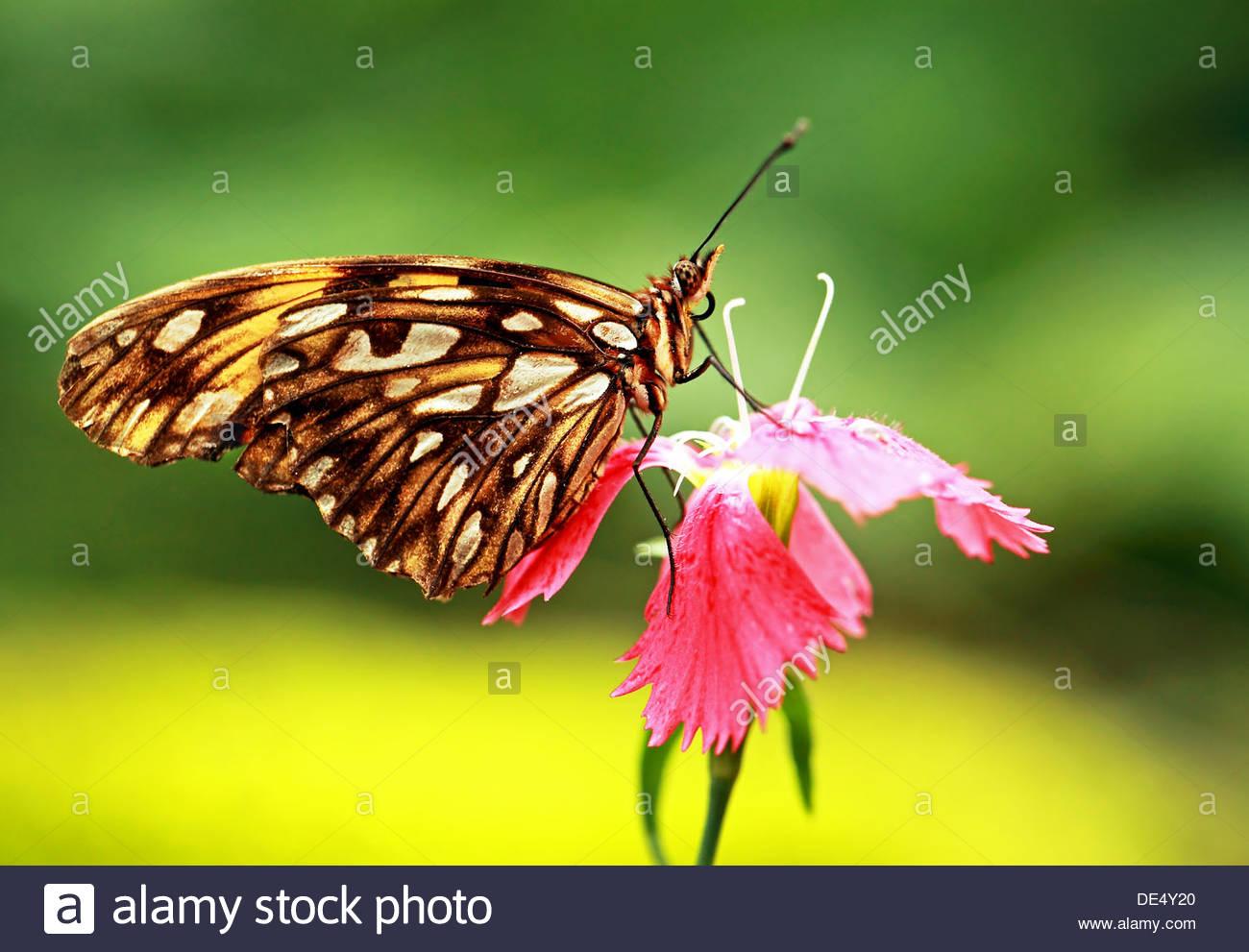 Gulf fritillary farfalle tropicali Immagini Stock
