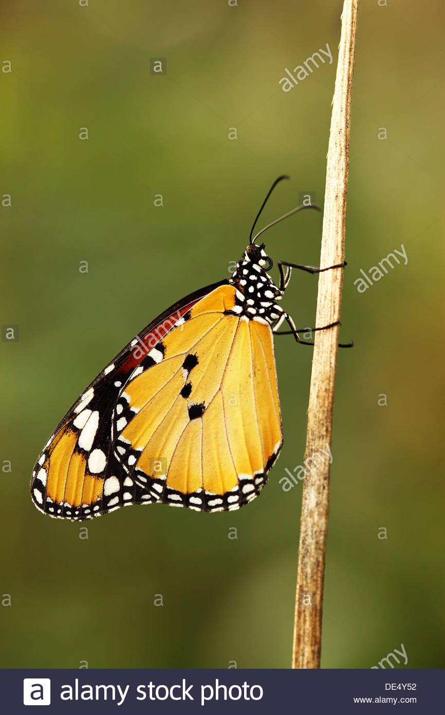 Plain tiger farfalle tropicali Immagini Stock