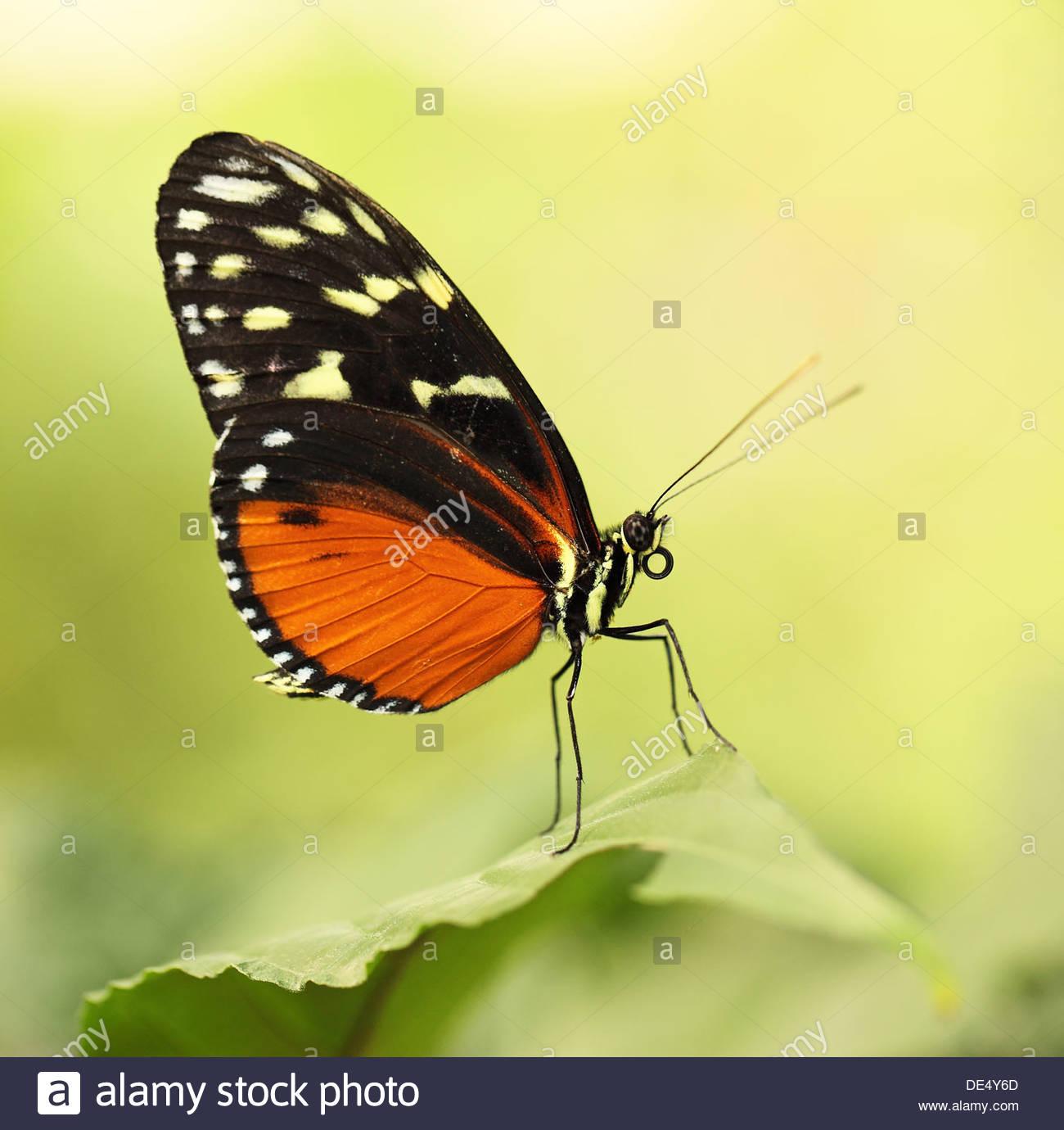 Tiger longwing farfalle tropicali Immagini Stock