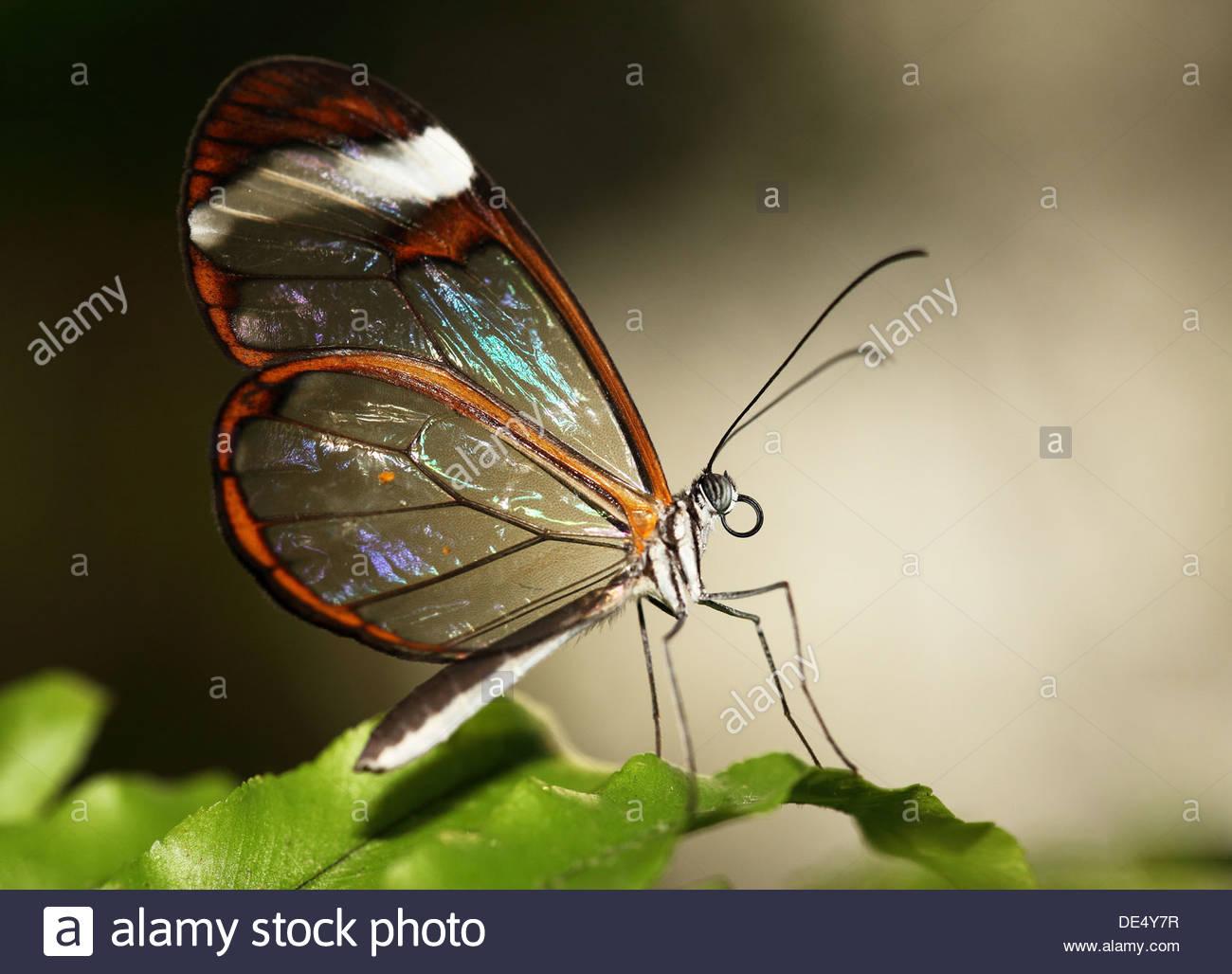 Glasswinged farfalle tropicali Immagini Stock