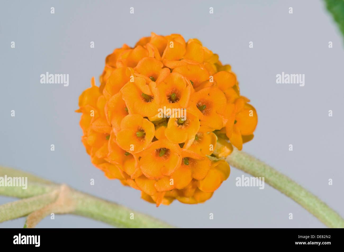 Sfera arancione, buddleja Buddleja glabosa, grande arbusto a fioritura Immagini Stock