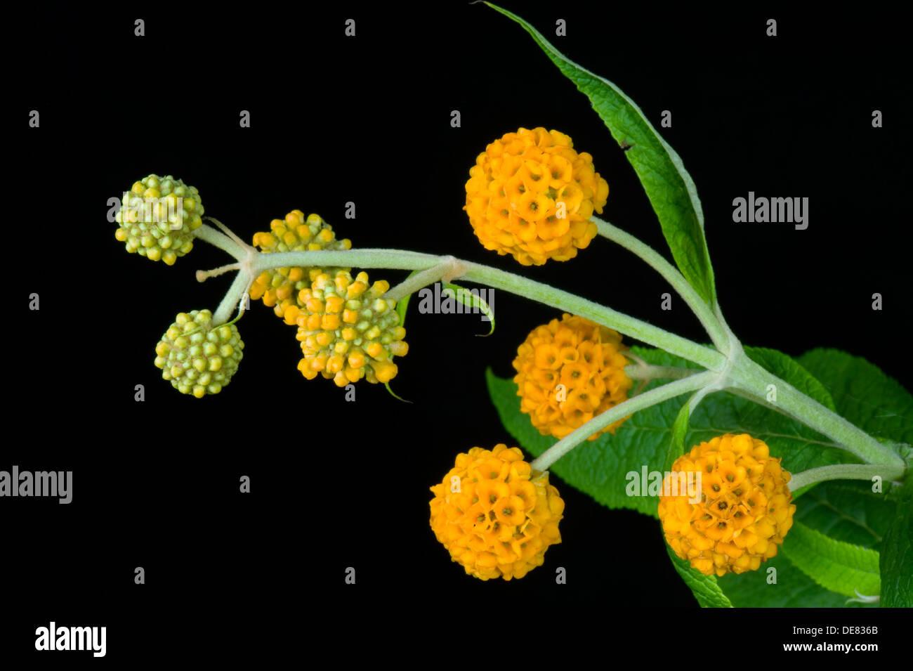 Sfera arancione, buddleja Buddleja globosa, grande arbusto a fioritura Immagini Stock