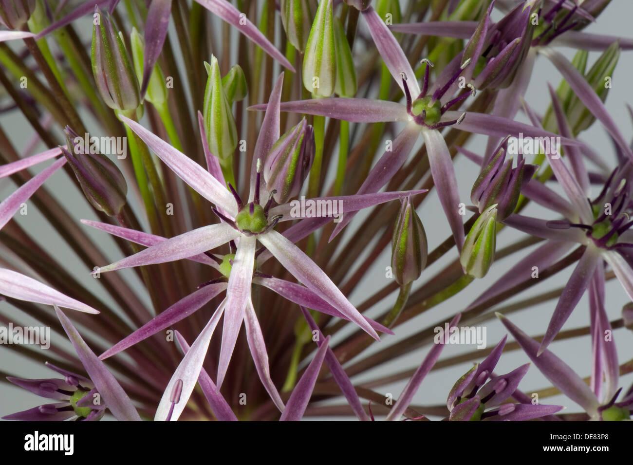 Stella della Persia, Allium cristophii, broccoli Immagini Stock