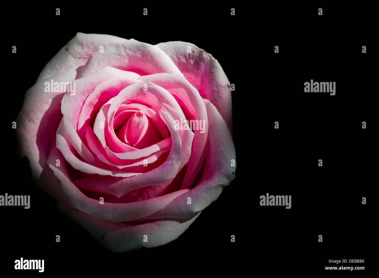 Primo Piano Di Una Rosa Rosa Su Sfondo Nero Foto Immagine Stock