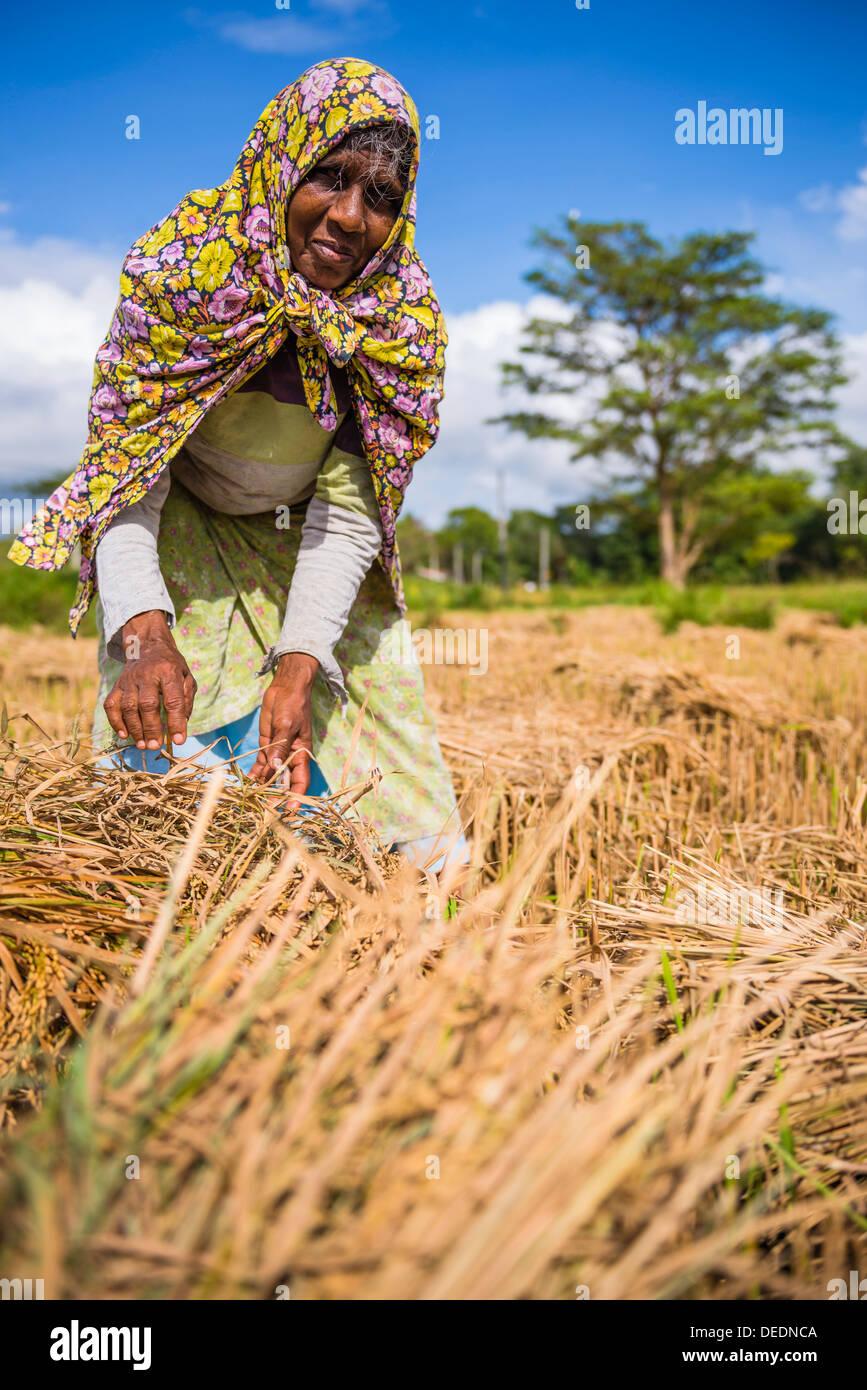 Ritratto di un vecchio dello Sri Lanka donna che lavorano in un campo di grano appena al di fuori di Dambulla, provincia centrale, Sri Lanka, Asia Immagini Stock