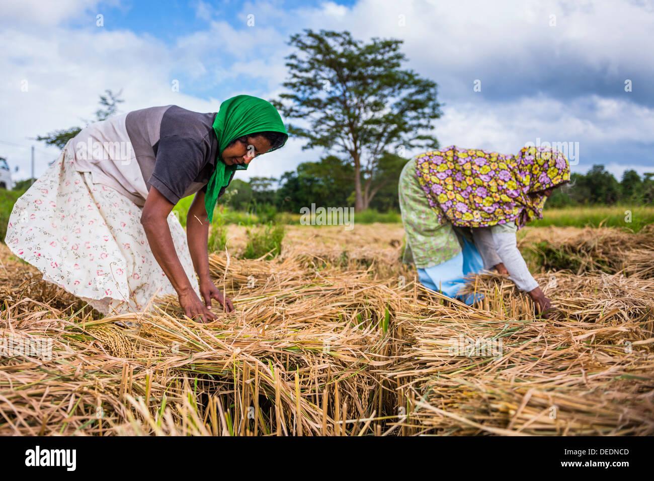 In Sri Lanka le donne a lavorare in un campo di grano appena al di fuori di Dambulla, provincia centrale, Sri Lanka, Asia Immagini Stock