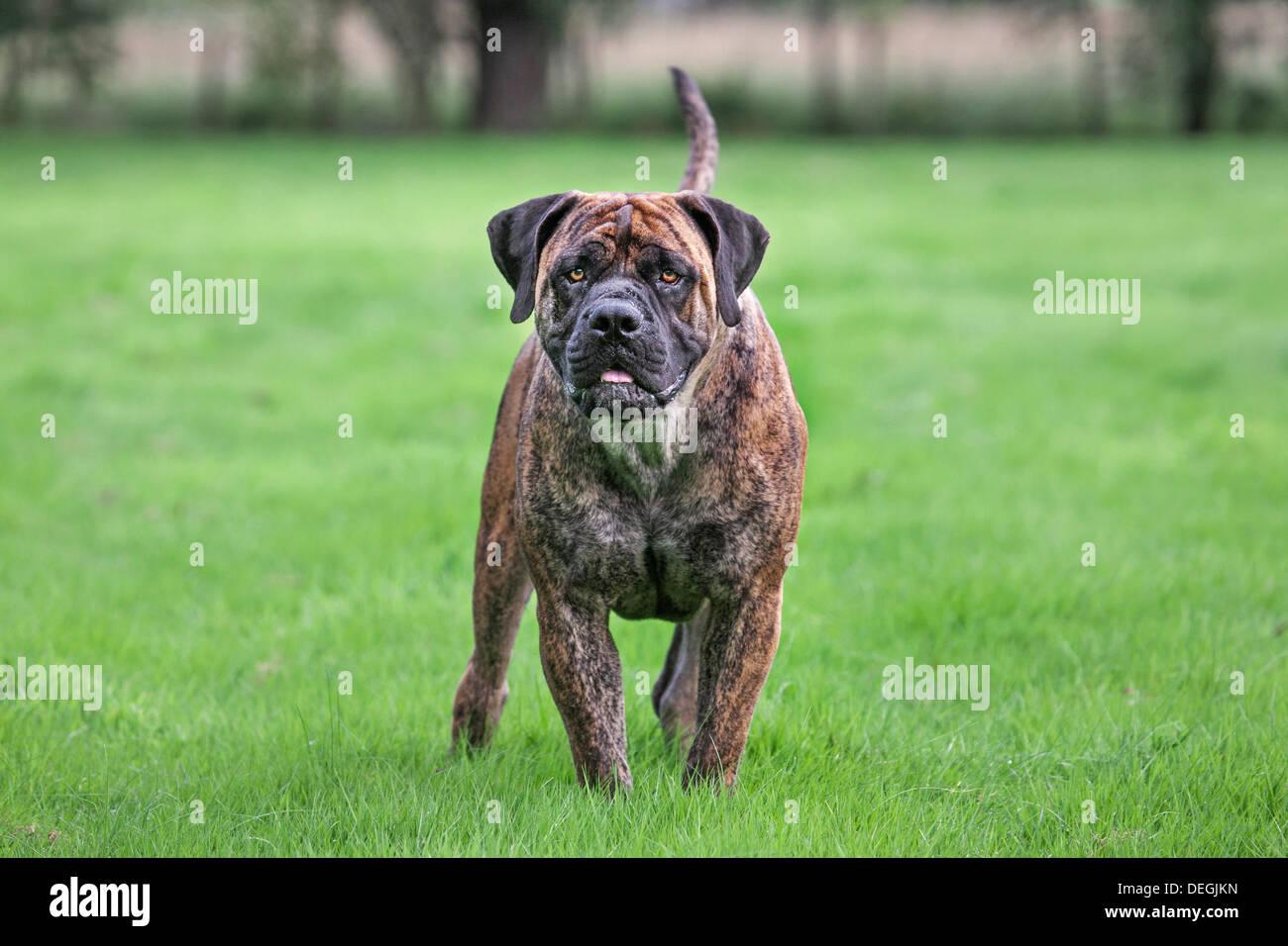 Boerboel, mastiff cane di razza dal Sud Africa in giardino Immagini Stock