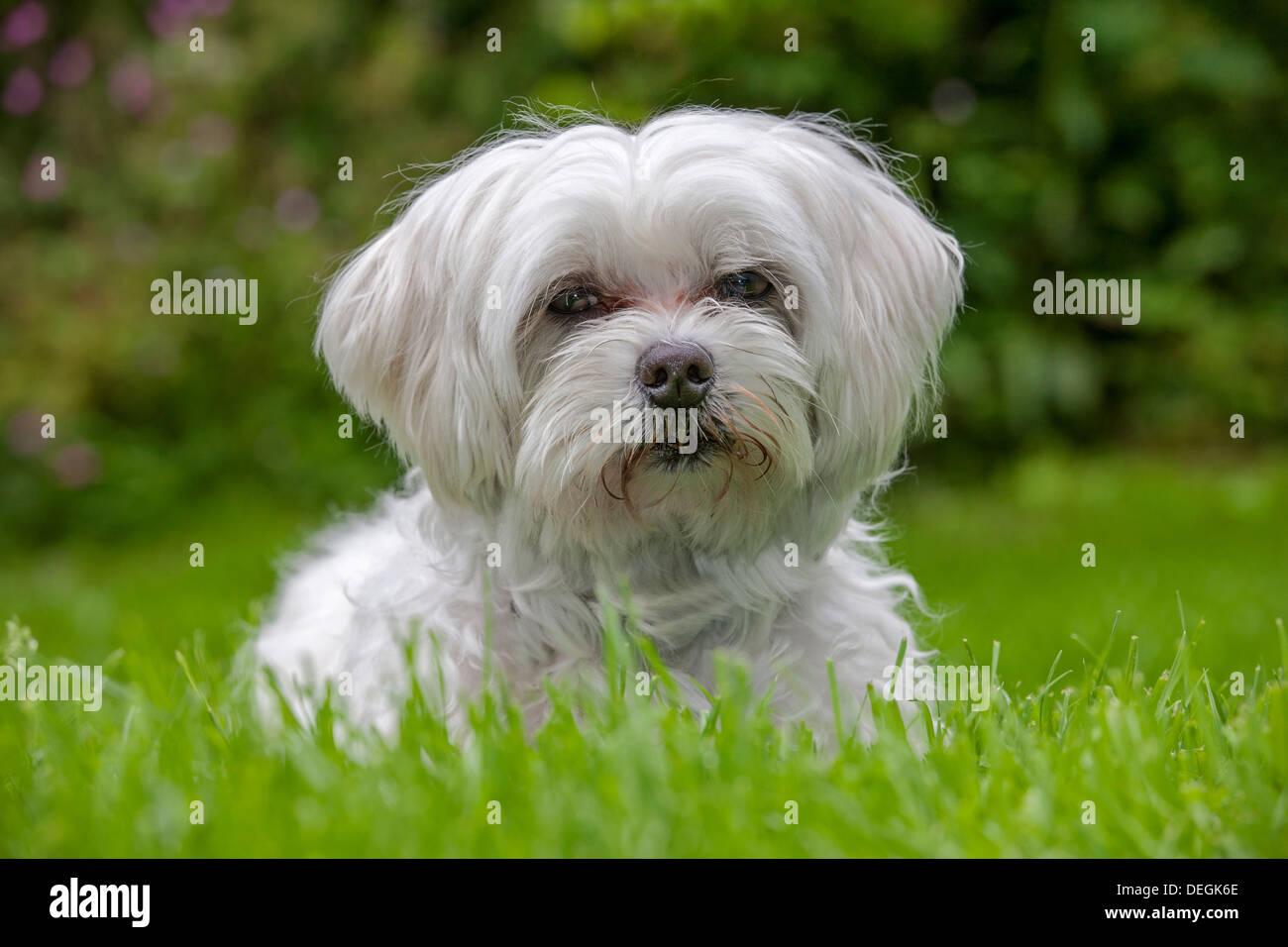 Ritratto di Maltese Maltezer / cane (Canis lupus familiaris) seduti in giardino Immagini Stock