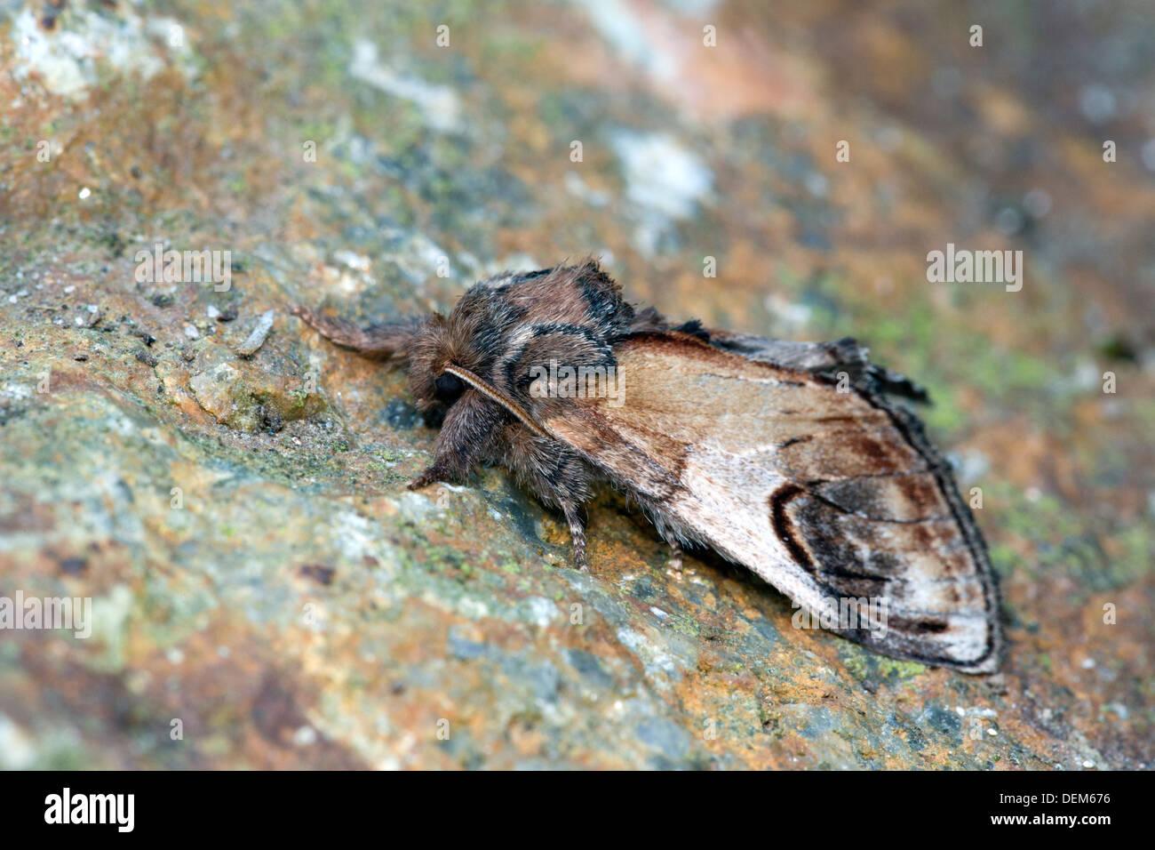 Di ghiaia falena prominente; Notodonta ziczac; estate; Regno Unito Immagini Stock