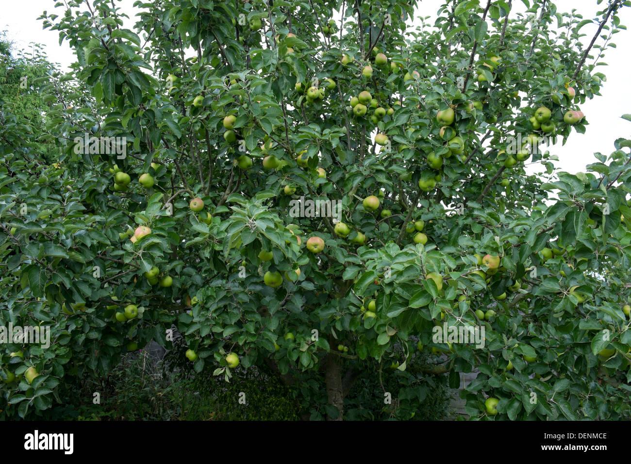 Bramley melo, con un buon raccolto di frutta, fine Agosto Immagini Stock