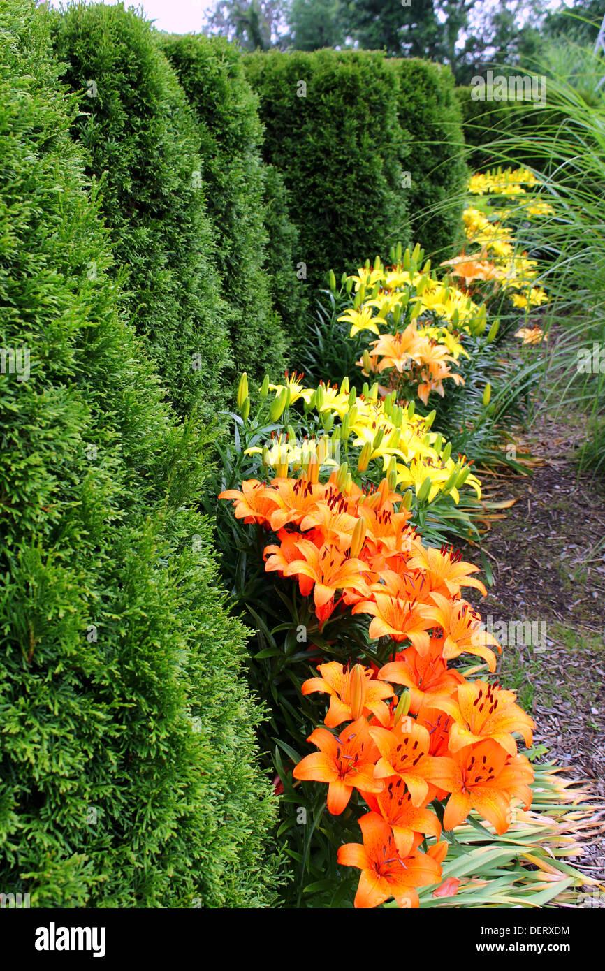 Cespugli Sempreverdi Con Fiori una fila di arbusti sempreverdi con giallo, arancione lily