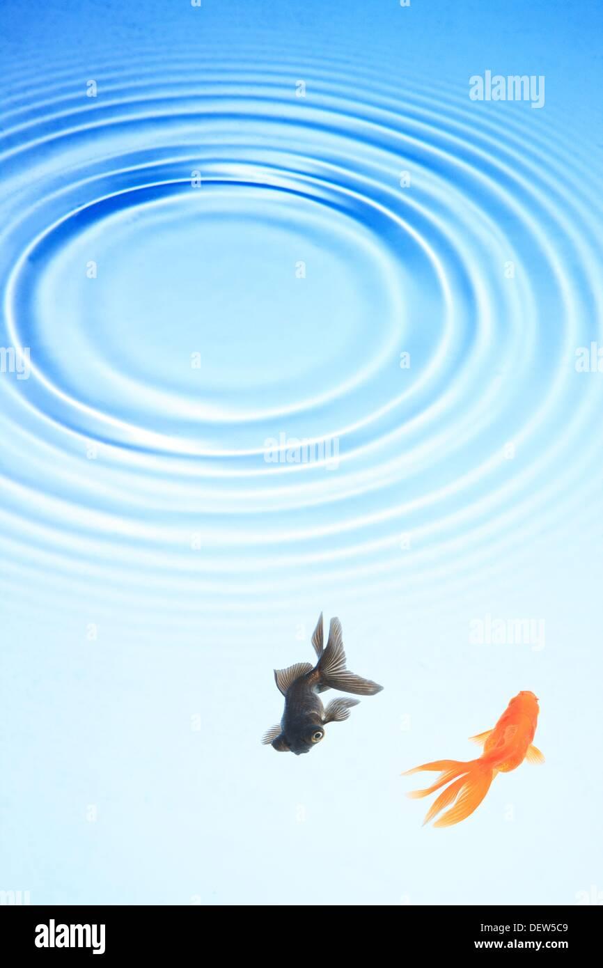 Due goldfish nuotare sotto le ondulazioni in acqua, Giappone, Fukushima Immagini Stock