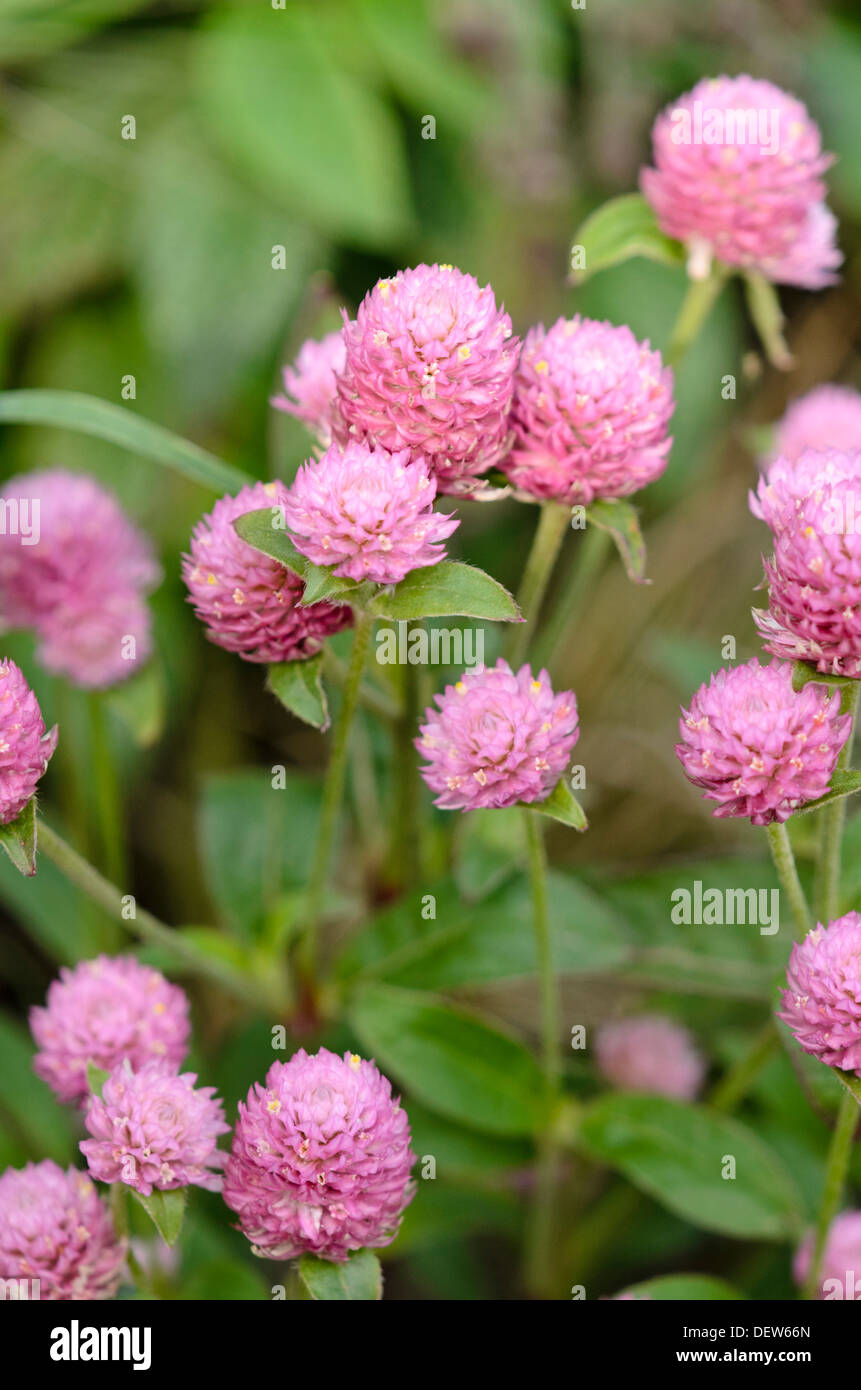 Amaranto a globo (gomphrena globosa 'las vegas rosa') Immagini Stock