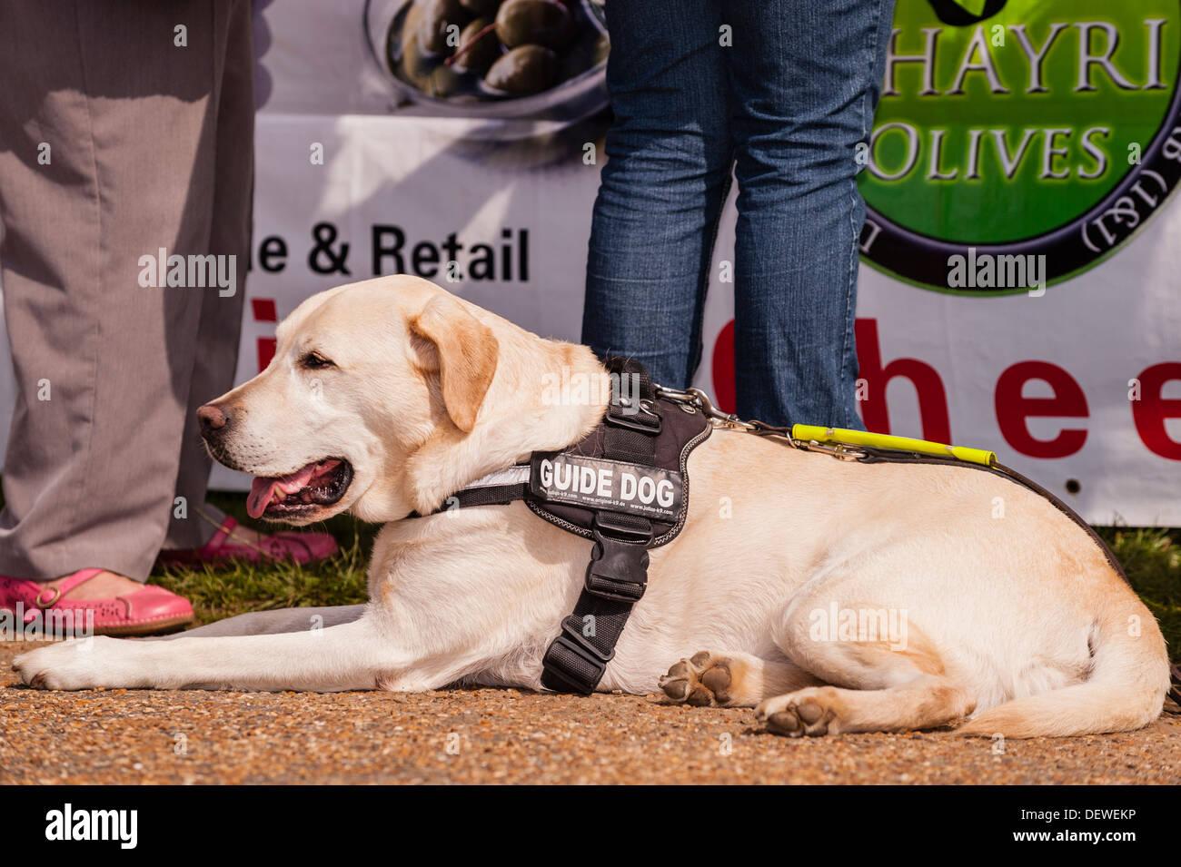 Un cane guida al Tutto su cani mostrano al Norfolk Showground, Norwich, Norfolk, Inghilterra, Regno Unito Immagini Stock