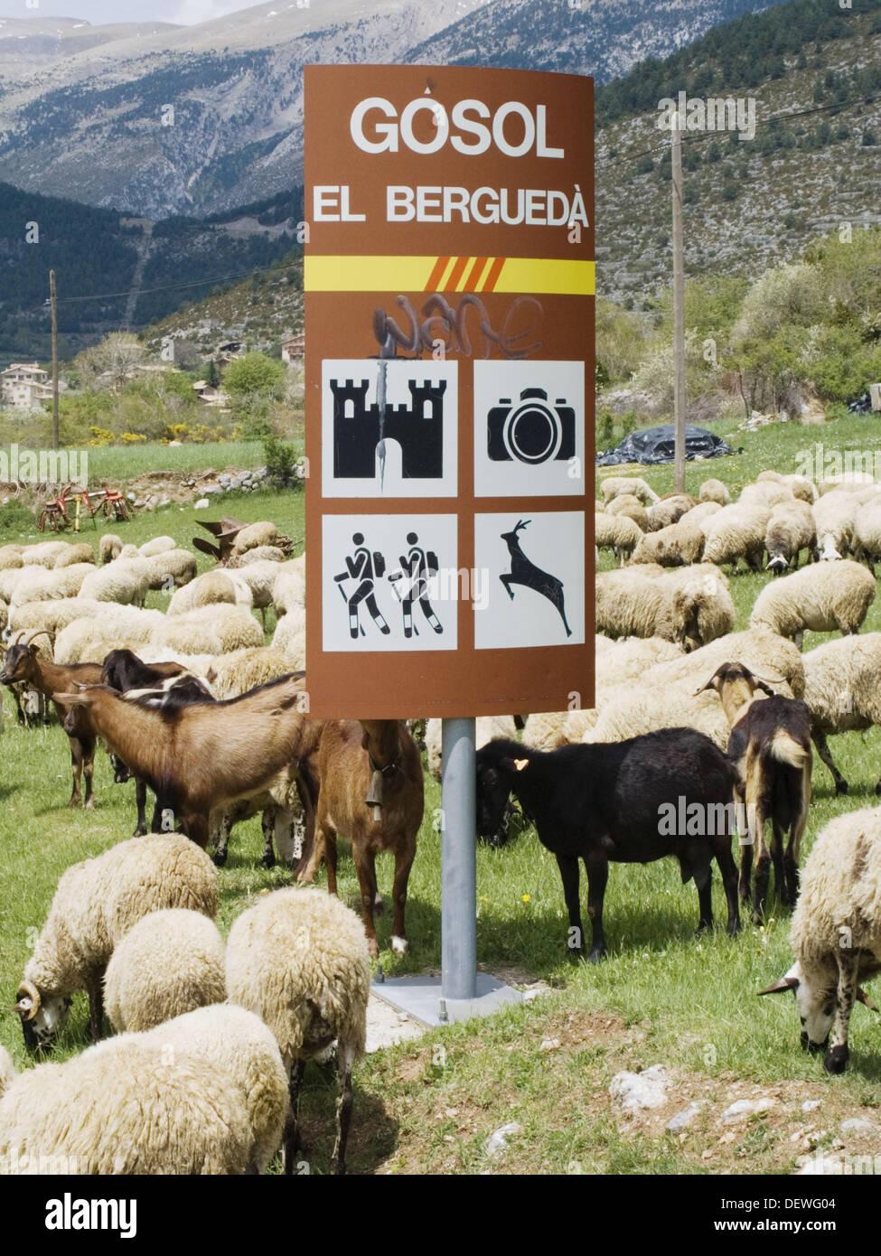 Pecore. Gósol. El Berguedà, la Catalogna. Spagna. Percorso di uomini buoni (Camí dels Bons Homes). Percorso dei Catari. Mountain-bike. Immagini Stock