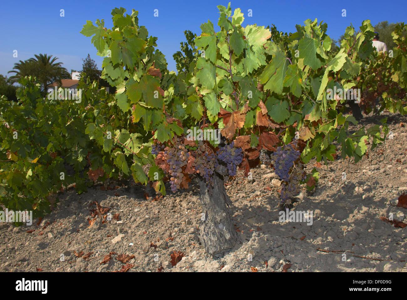Pedro Ximenez vino uve, Montilla, area Montilla-Moriles, in provincia di Cordoba, Andalusia, Spagna Immagini Stock