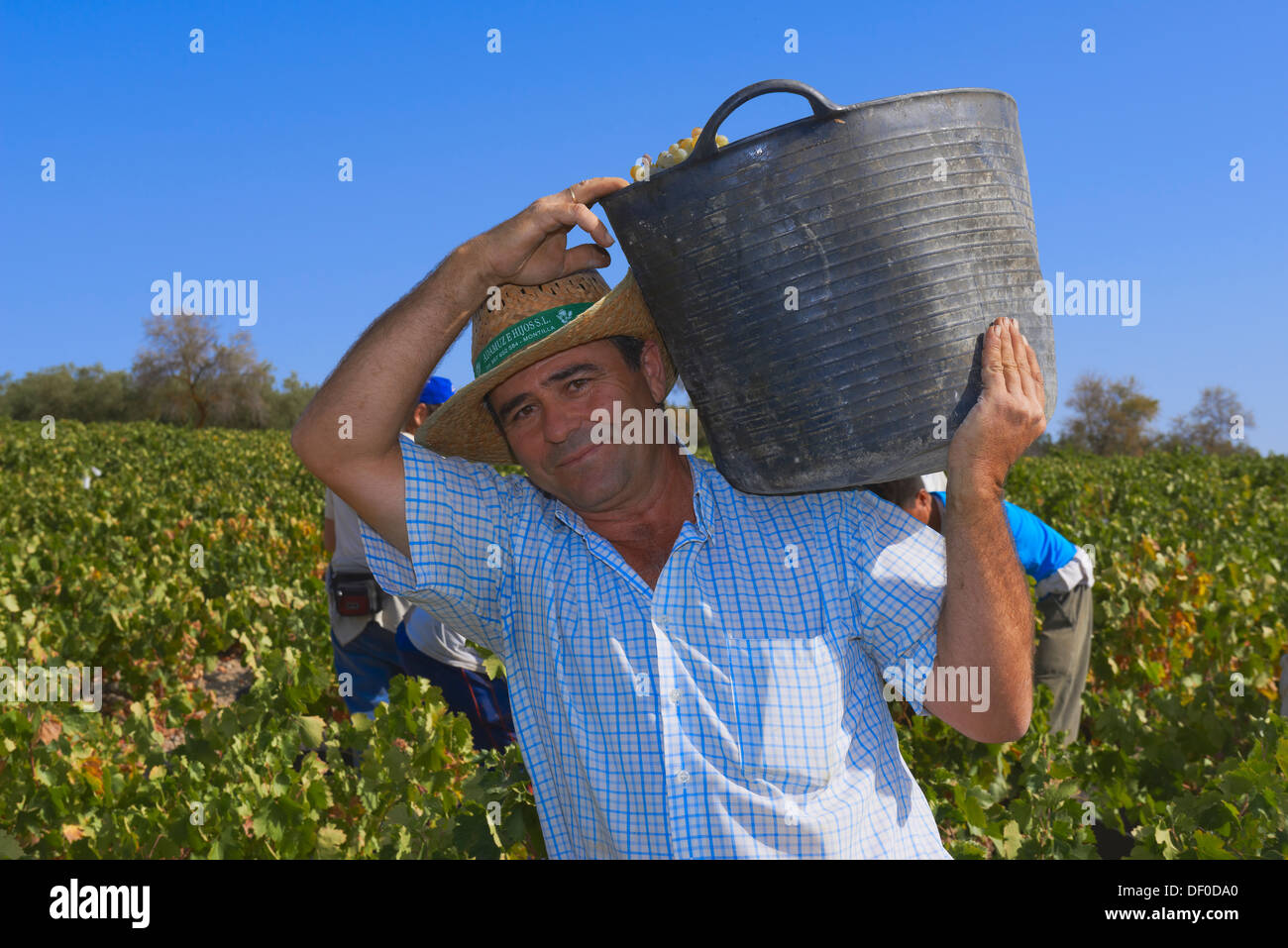 Montilla, raccolta Pedro Ximenez vino uve, Vintage in un vigneto a Montilla, area Montilla-Moriles, in provincia di Cordoba, eun Immagini Stock