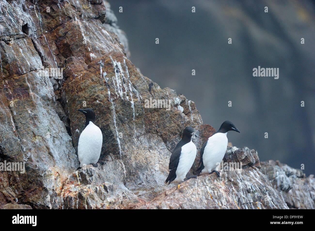 Tre Brünnich's guillemot sull isola di Hantzch scogliere off Isola Baffin Uria lomvia Nunavut, Canada Immagini Stock