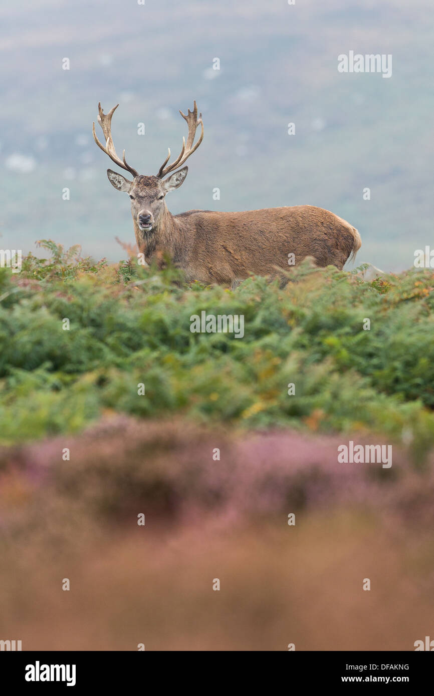 Maschio rosso cervo il cervo (Cervus elaphus) si erge tra bracken e heather su Ramsey Island, Pembrokeshire. Immagini Stock