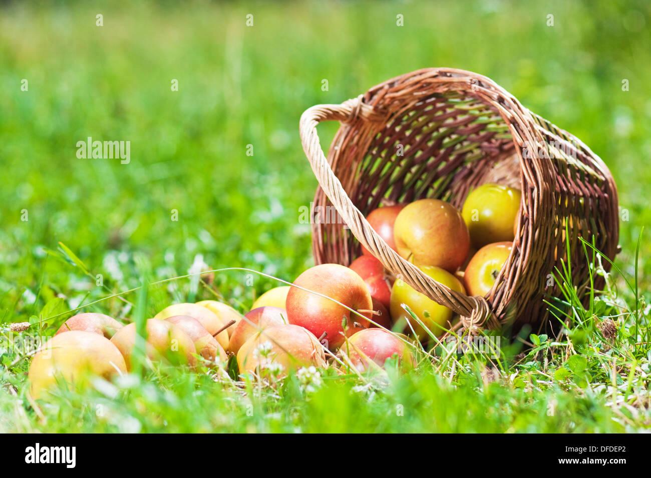 Mele mature in un cestello sull'erba Immagini Stock