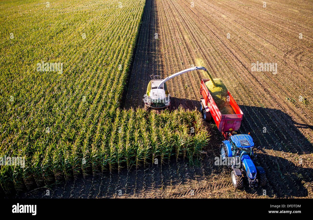 L'agricoltura, la raccolta del granoturco. Mietitrebbia Harvester Works attraverso un campo di mais. Il silaggio è pompata direttamente in un rimorchio. Immagini Stock