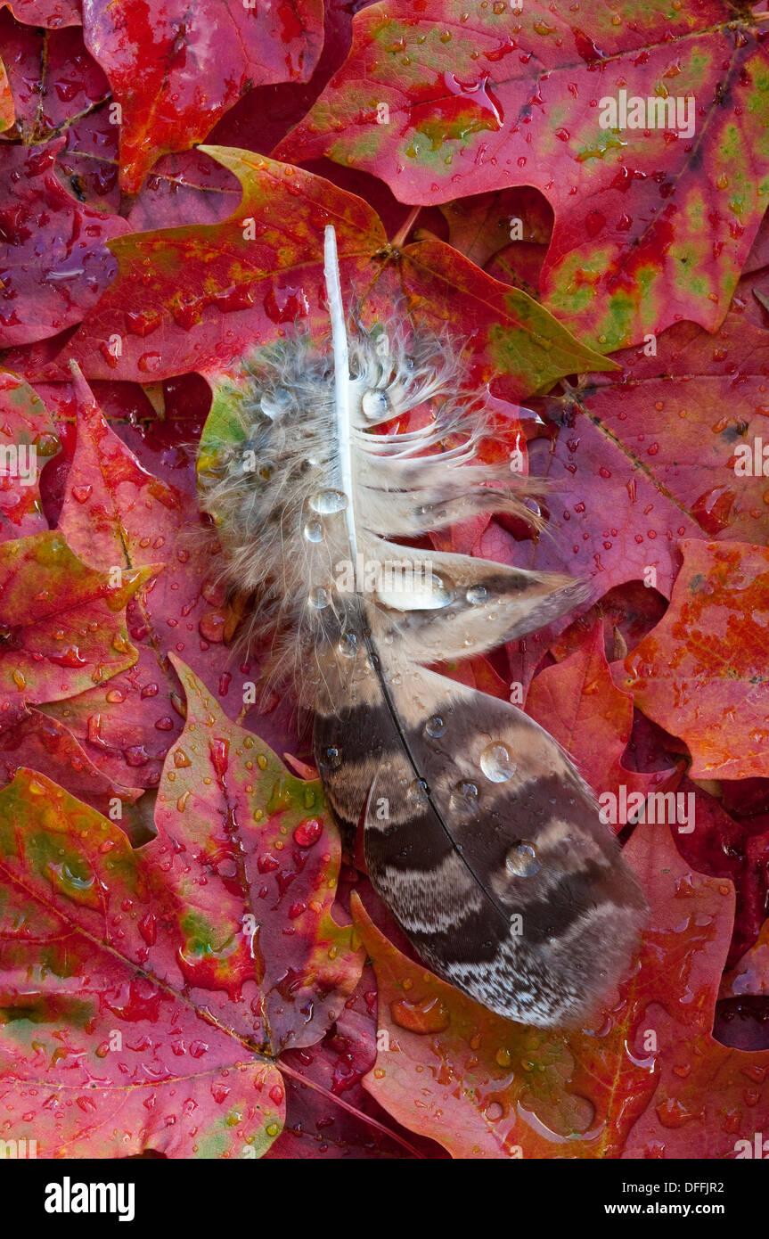 Gocce di pioggia sulla grande gufo cornuto giù in appoggio su autunno rosso di foglie di acero Acer rubrum USA orientale Immagini Stock