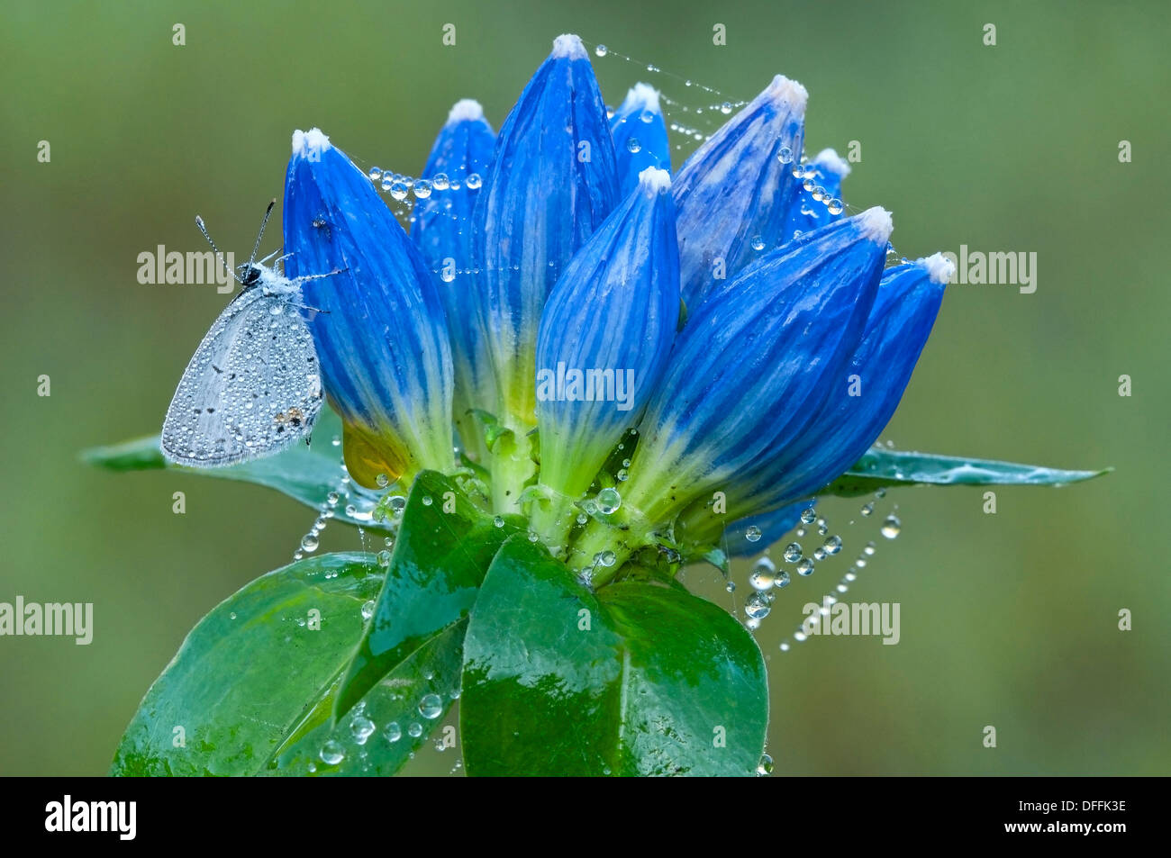 Eastern Tailed-Blue Butterfly (Cupido comyntas) on bottle Gentians (Gentiana andrewsii) Eastern USA, by Skip Moody/Dembinsky Photo Assoc Foto Stock