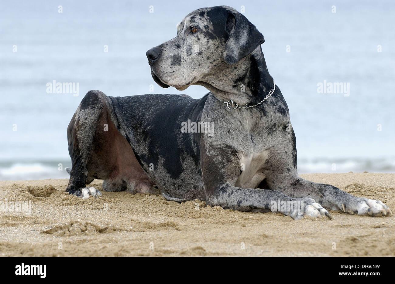 Alano cane. Spiaggia di Hendaya, Aquitanaine. Francia Immagini Stock