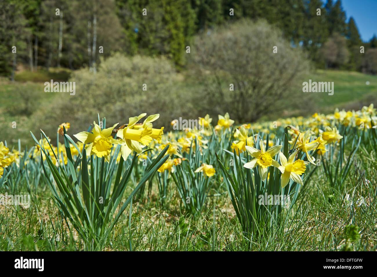Wild giallo o narciso narcisi narcissus pseudonarcissus for Narciso giallo