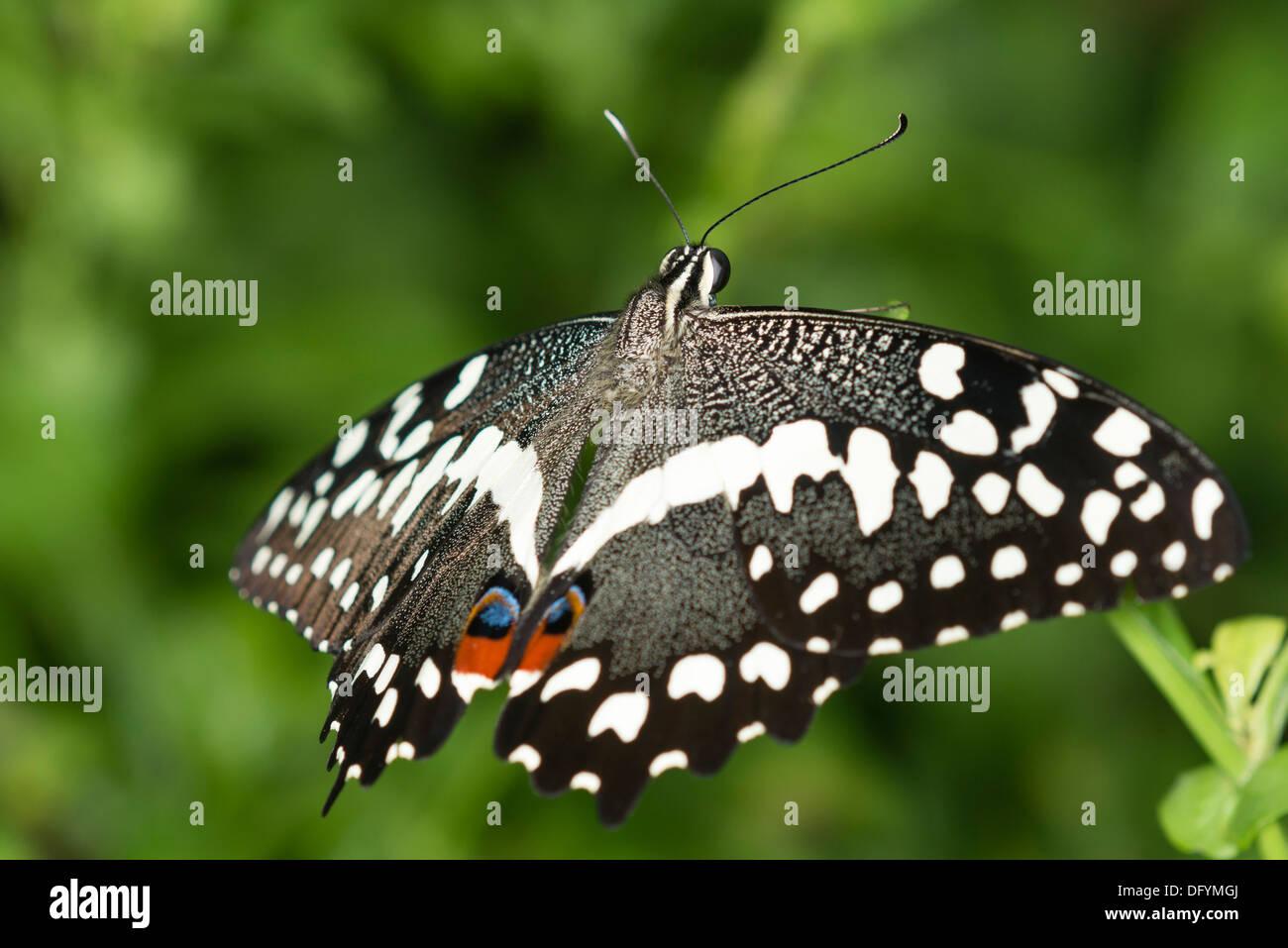 Un agrume a farfalla a coda di rondine a riposo Immagini Stock