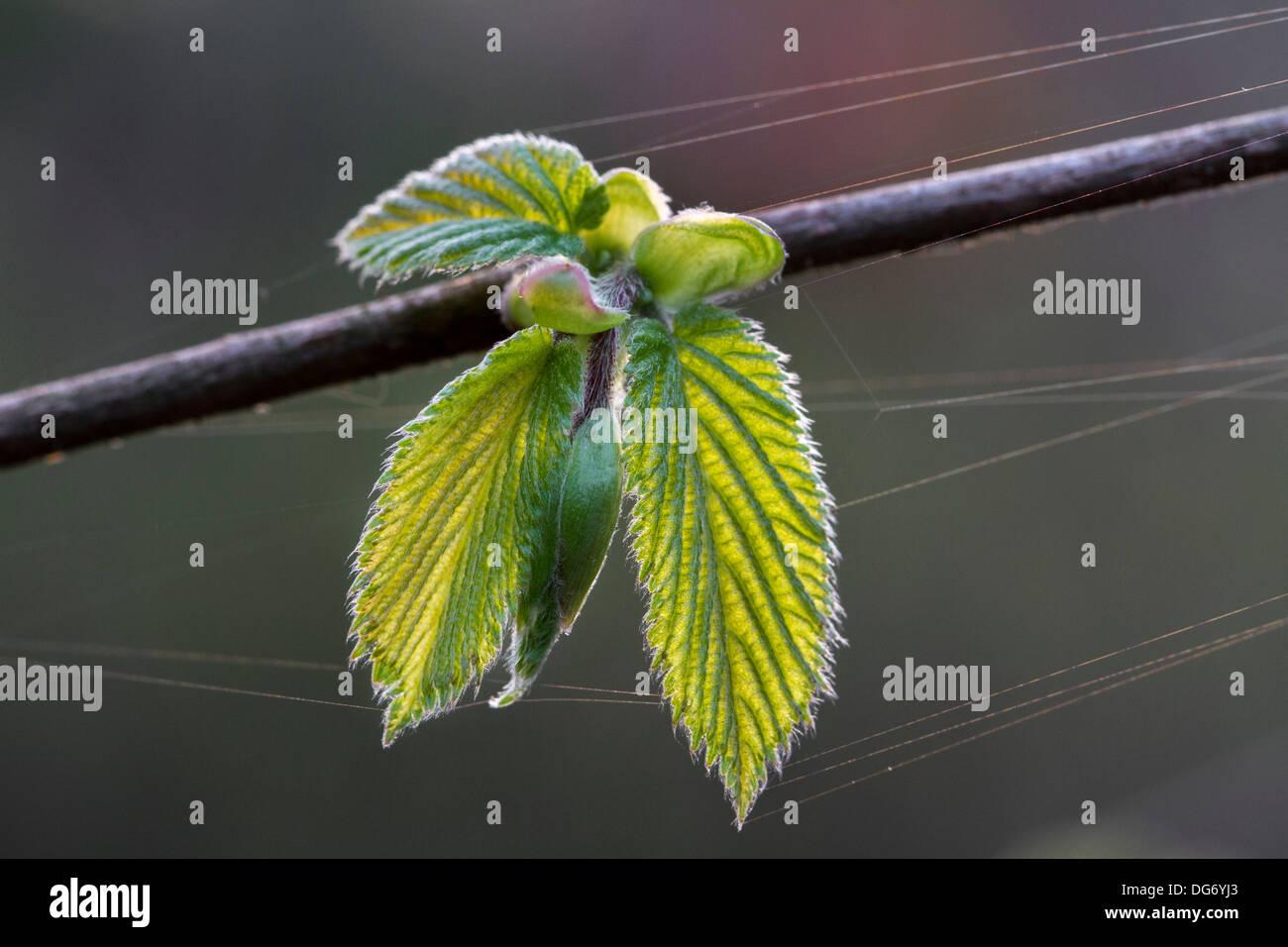 Comune di nocciolo (Corylus avellana) ramo con foglie emergenti in primavera Immagini Stock