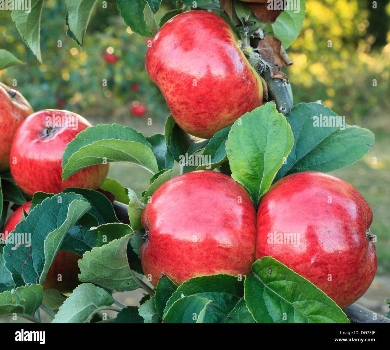 """Apple """"Jolly"""" Miller, malus domestica, mele varietà varietà crescente su albero Norfolk Inghilterra Immagini Stock"""