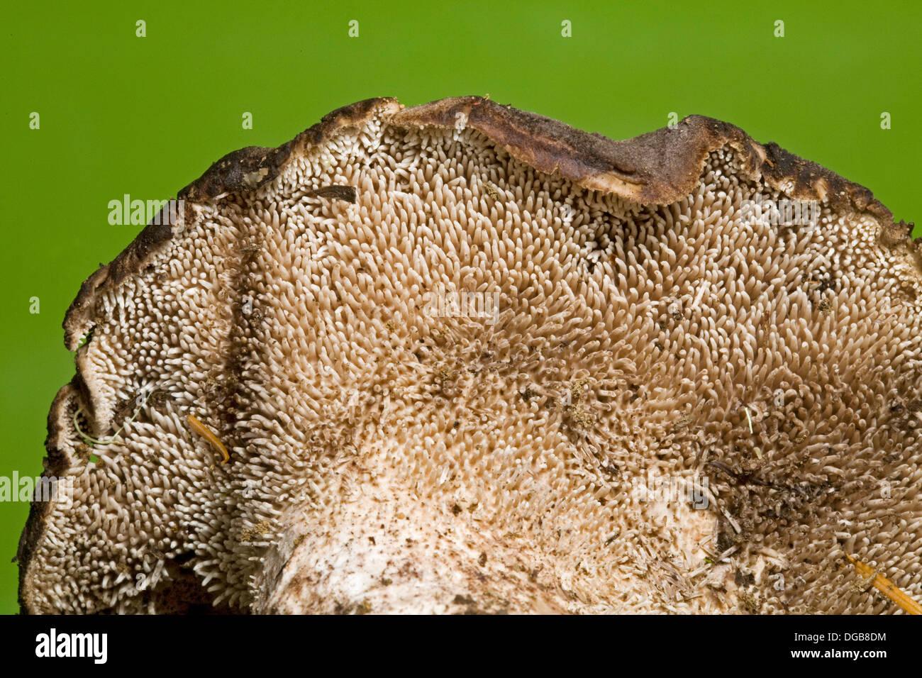 Di funghi selvatici con denti o spine invece di branchie, sotto il cappuccio, un fungo dentato Immagini Stock